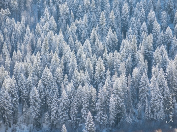 Snow in the pines.